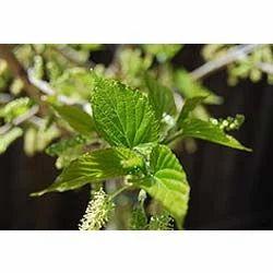 Morus Alba- Mulbery Extract