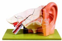 Ear Anatomical Models