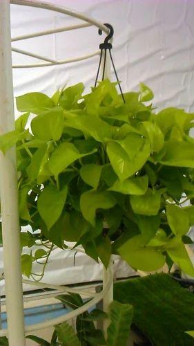Live Indoor Plant, Indoor Plants - Sunglow Nursery, Pune | ID ...
