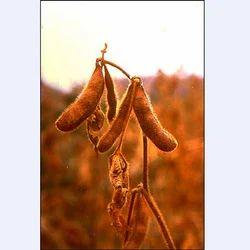 Soybean Oil Seed