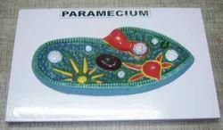 Paramecium Model