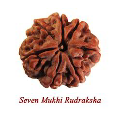 Seven Mukhi Rudraksha