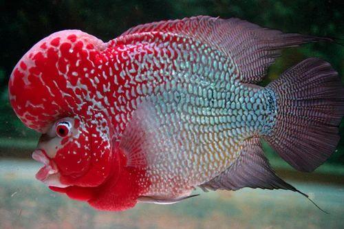 flowerhorn fish live