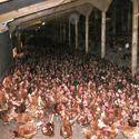 Poultry Sheds