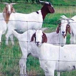 Goat Farming Service in India