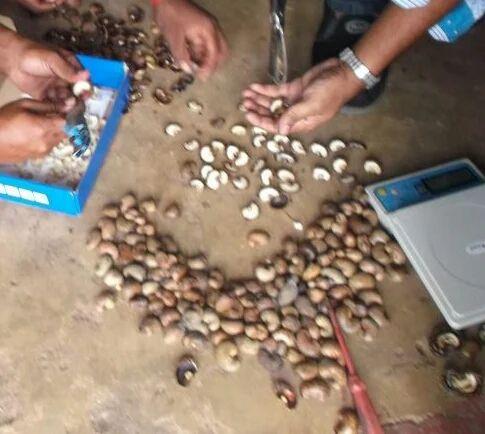 Cashew Nuts - Tanzania Raw Cashew Nuts 100% Export Oriented