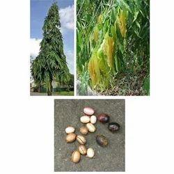 Polyalthia Longifolia Seed