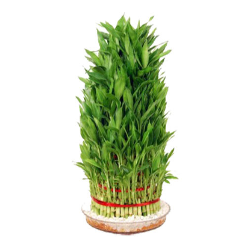 Lucky Bamboo Plant Haryali Manufacturer In Hauz Khas New Delhi