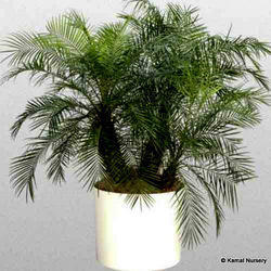 Phoenix Roebeleni Ornamental Palm