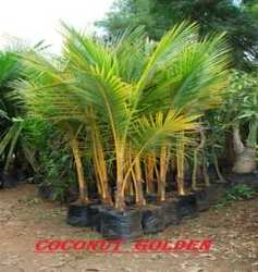 coconut golden plant