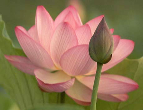 Fresh Lotus Flowers Fresh Flowers Plants Trees Angel Exports