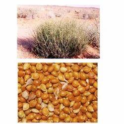 Panicum Turgidum Seed