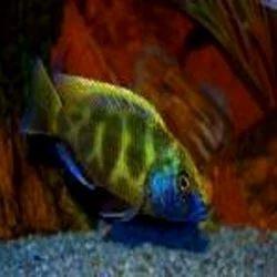 Cichlid African Ornamental Fish - Modern Pet Centre, Kolkata