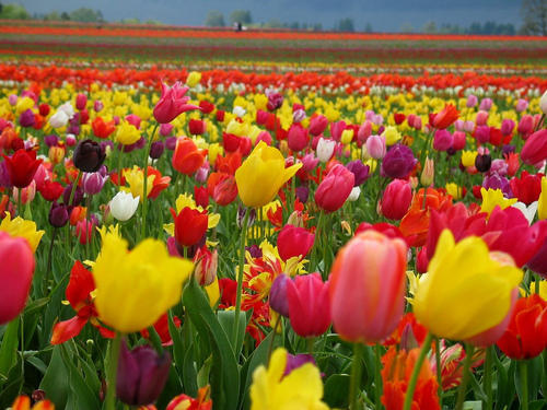 tulip flowers  view specifications  details of fresh flower by, Beautiful flower