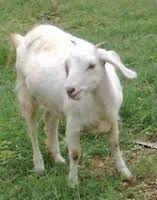 Thalaserry goat