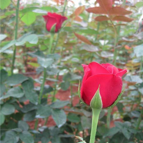 indian flowers usa uk canada oman dubai kuwait