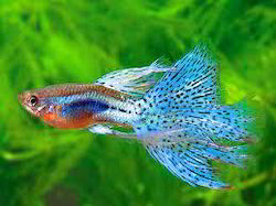 Ornamental Guppy Fish