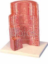 Micro Anatomy Digestive System