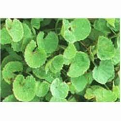 Centella Asiatica Gotu Kola Extract