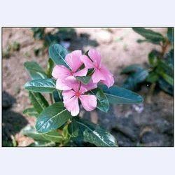 Vinca Rosea Plant