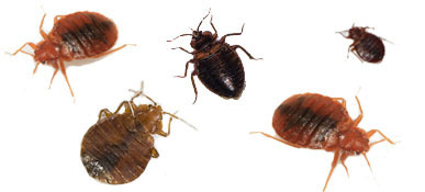 Bed Bug Control Treatment Services In Elphinstone West Mumbai