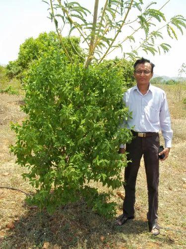 Red Sandalwood Tree | Chandan Vikas Association | Manufacturer in