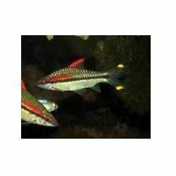Ornamental Fish in Kolkata, West Bengal, India, Sajawati ...