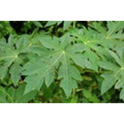Papaya Leaf Extract, Pack Size: 25 Kg, Packaging Type: Drum