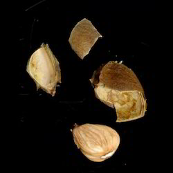 apricot kernel seed