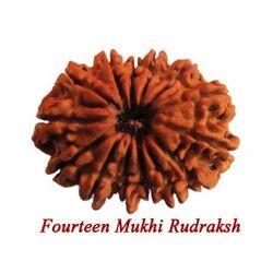 Fourteen Mukhi Rudraksha