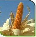 Hybrid Maize-vajra