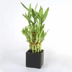 Dendrocalamus Asper Bamboo Plant at Rs 35 /piece(s) | Bamboo Plants