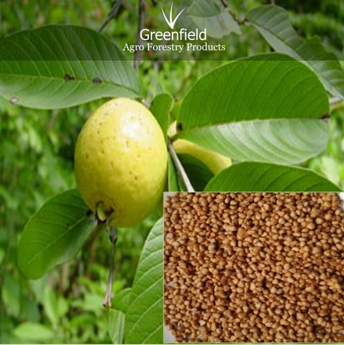 Guava Seeds Psidium Guajava