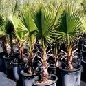 Washingtonia Filifera Seedlings