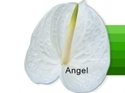 Angel Fresh Flower