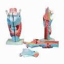 Magnified Human Larynx Models