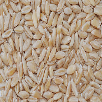 Wheat Grain, गेहूं - View Specifications & Details of