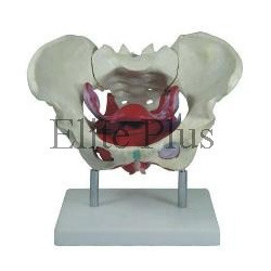 Female Pelvic Muscles and Organ Models