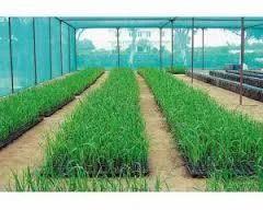 Sugarcane Seedling