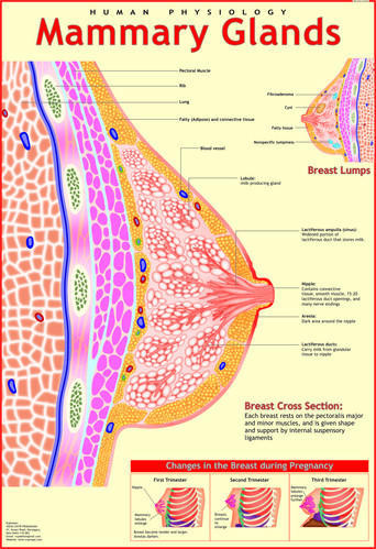 Human Anatomy Chart at Rs 150 /piece | Human Anatomy Charts - Vidya ...