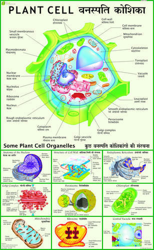 Plant cell chart at rs 150 pieces botany charts vidya chitr plant cell chart ccuart