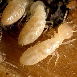 Anti Termite Treatment For Wood