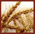 Products Wheat Seeds