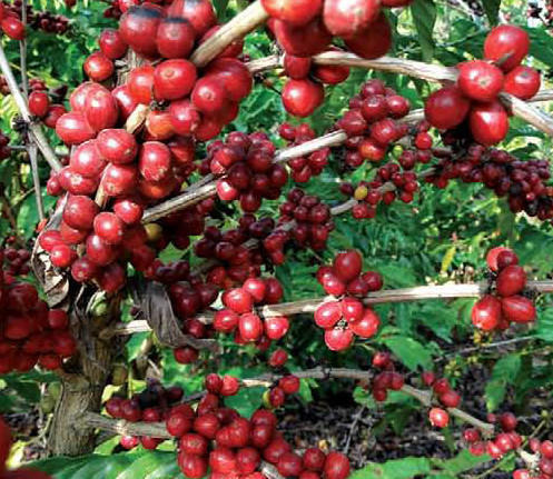 Coffee Plantation  Elk Hill Coffee Plantation. Summer Solstice Quotes. Summer Goal Quotes. Country Raised Quotes. Famous Quotes Quality. Short Quotes Success. Thank You Quotes Birthday Wishes. Christmas Quotes Literature. Movie Quotes Kung Fu Panda