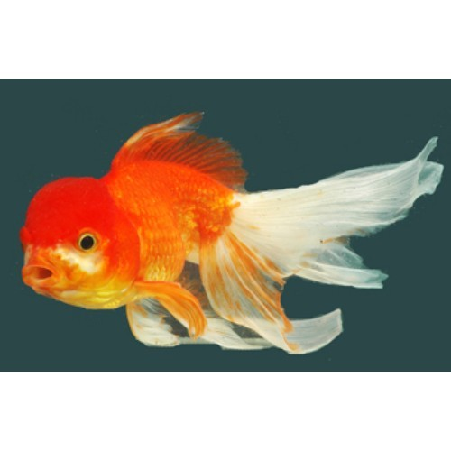 Aquarium Fishes Flowers Horn Wholesale Supplier From Howrah