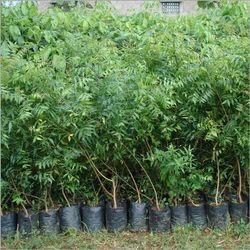 Ayurvedic Plant आयुर्वेदिक पौधा Wholesale Price Amp Mandi