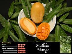Mallika Mango Tree
