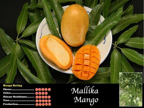 Fruit Plants - Mango Grafted Saplings Fruit Plant Exporter from Howrah