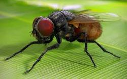 Housefly Management Service