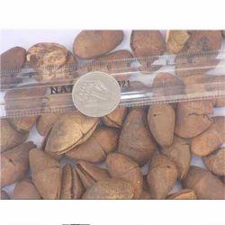 Thevetia Neriifolia Seeds